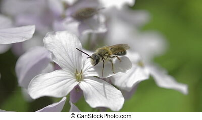 Small bee on wildflower perennial honesty, spring. -...