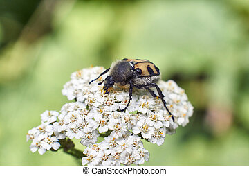 Small beetle on a white flower.