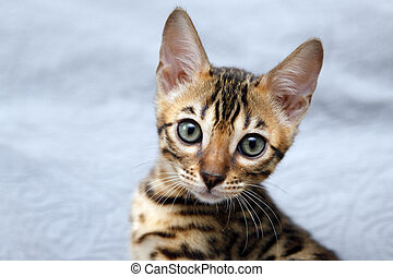 Small bengal kitten, isolated on blue backdrop.