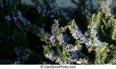 Small bird circling near flowering coniferous shrub in open...