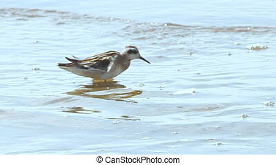 small bird feeds in shallow water