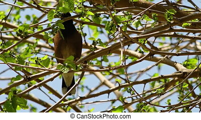 Small Bird in Thick Tree - Steady, medium closeup shot of a...