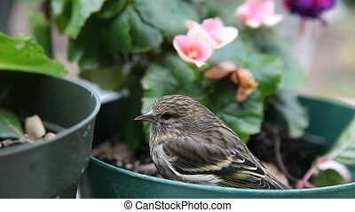 small bird resting - a stunned goldfinch sits in a potted...