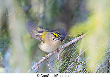 small bird with a yellow crown on its head flaps its wings