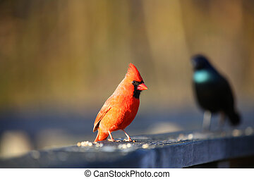 Small Birds - One Cardinal and one Common Grackle birds