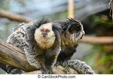 Small Black and White Monkey - Callithrix Geoffroyi Small...