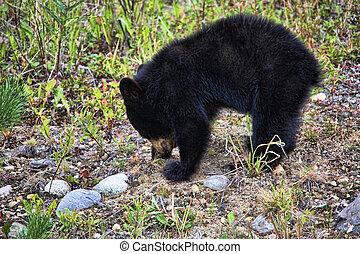 Small Black Bear Cub in the Wild