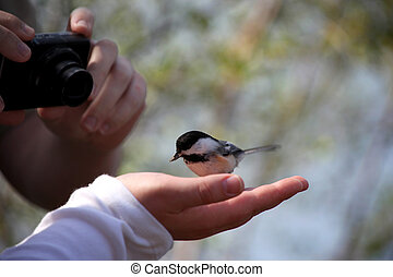 Small black capped Chickadee