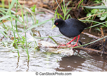 Small black crake eating fish in shallow running water