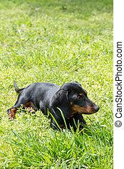 Small black dachshund dog lies on the green grass