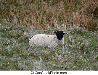 Small Black Faced Lamb Resting in a Grass Field