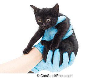 Small black kitten in the hands of a doctor
