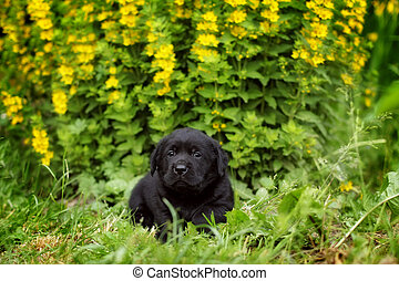 small black Labrador puppy lying in the garden