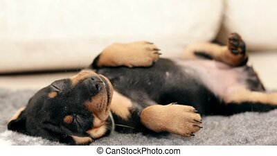 Small Black Miniature Pinscher Zwergpinscher, Min Pin Puppy...
