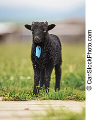 Small black ouessant or Ushant sheep lamb on green spring grass, blue tag on neck.