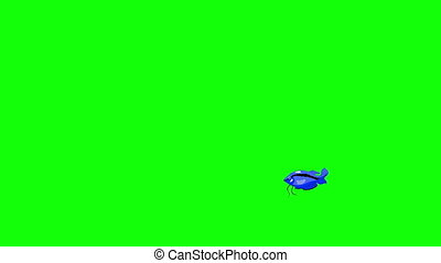 Small Blue Aquarium Fish Gourami Chroma Key - Small Blue...