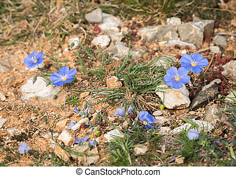 Small blue flax growing on the ground of meditteranean ...