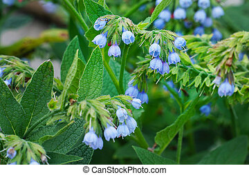 Small blue flower comfrey bell. Symphytum officinale. ...