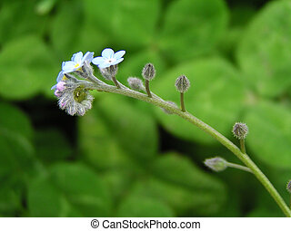 Small blue flower forget-me-not