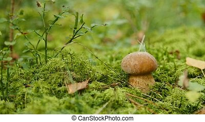 Small boletus grow in woods. Nature food plants close up -...
