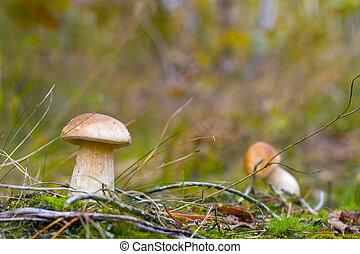 small boletus mushrooms in forest