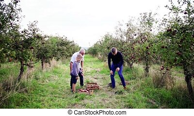 Small boy with father and grandfather picking apples orchard...
