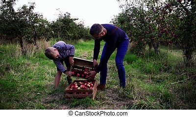 Small boy with father picking apples orchard in autumn. -...