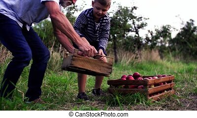 Small boy with grandfather picking apples in orchard in...