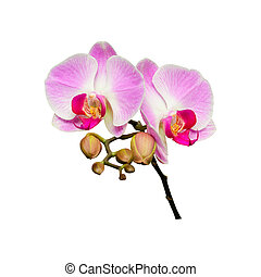 Small branch of orchids flowers with buds