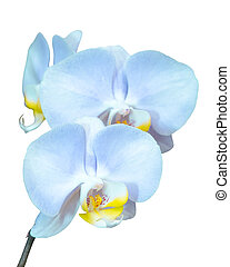 Small branch with blue orchids flowers