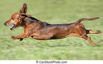 Small brown dachshund runnning at full pace on green grass