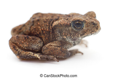 Small brown frog.
