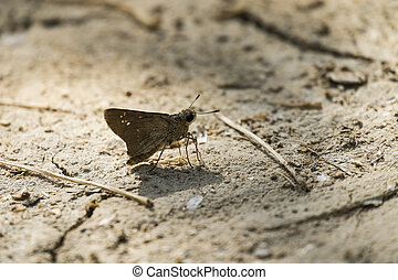 Small brown Israeli butterfly sits on the ground - A small...