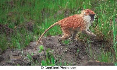 Small brown monkey walking in super slow motion