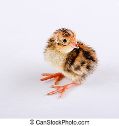 Small brown quail one day old on white board