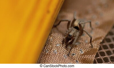Small brown spider, close-up - Close-up portrait of small...