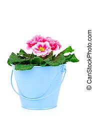 Small bucket of primrose flowers on white background