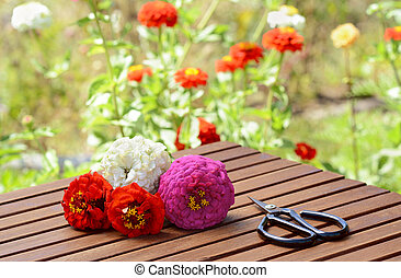 Small bunch of zinnias with scissors on a wooden table