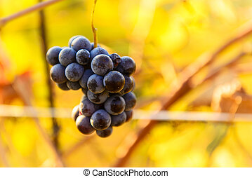 Small bunches of grapes on the vineyard in late autumn
