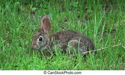 Small Bunny In The Wild