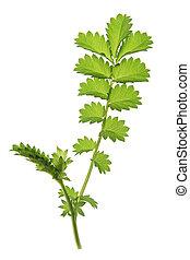 Small burnet (Sanguisorba minor), leaf against a white ...
