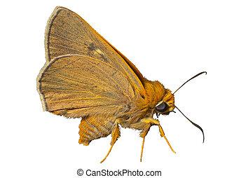 Small butterfly (Augeades) 3
