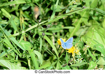 Small butterfly Lycaena on a green meadow in summer close-up