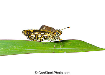 Small butterfly on grass-blade 1