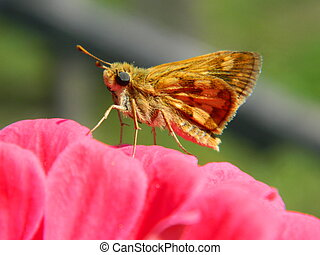 Small Butterfly on Pink Zinnia