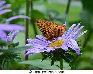 Small Butterfly on Shasta Daisy