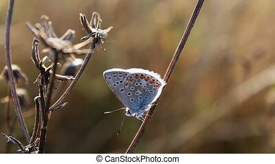 Small butterfly sit, silver-studded blue, Plebejus argus