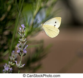 Small cabbage white butterfly flying