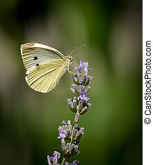 Small cabbage white butterfly on a flower