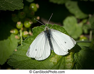 Small cabbage white butterfly sitting on a green leaf -...